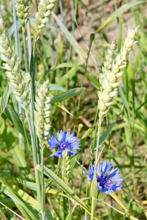 Two blue cornflowers in corn field summertime. photo