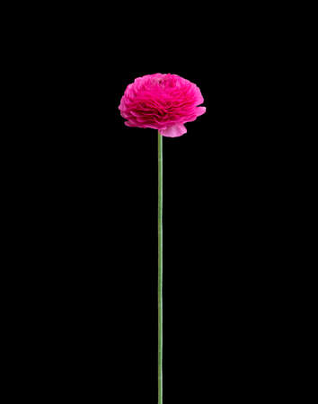 buttercup flower: Hot pink single buttercup flower on long stem isolated on black. Stock Photo