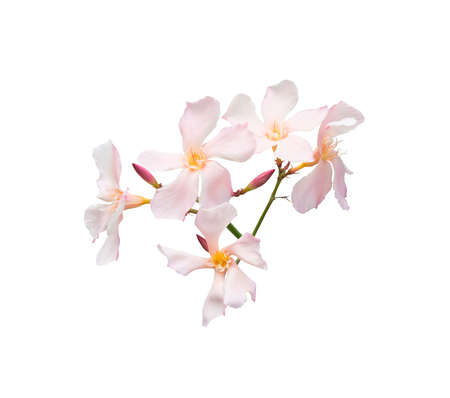 Oleander flowers. Nerium shrub with pastel pink flowers isolated on white. photo