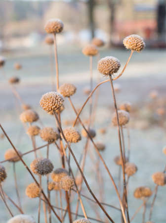 plant seed: Frosty seed capsule on plant in winter. Stock Photo