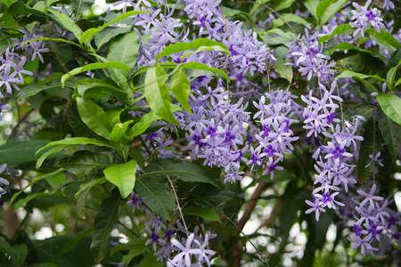 petrea volubilis: Propeller bush (Petrea volubilis) with purple decorative flowers closeup