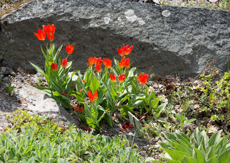 crevice: Red tulips in rock crevice on a sunny day of spring, Sweden in May. Stock Photo