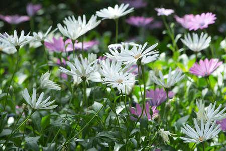 african daisy: African daisy, South African daisy, Cape daisy (Dimorphoteca) flowers in purple and white.
