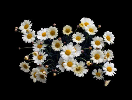 leucanthemum: Yellow Oxe-eye daisy or Moon Daisy May flowers, Leucanthemum vulgare, blossoming in May.