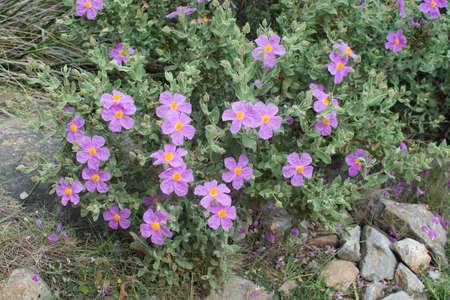 ピンク ロック ローズ (シスタス) 地中海沿岸に野生の成長します。ここでは 4 月にマヨルカ島、バレアレス諸島、スペイン。 写真素材