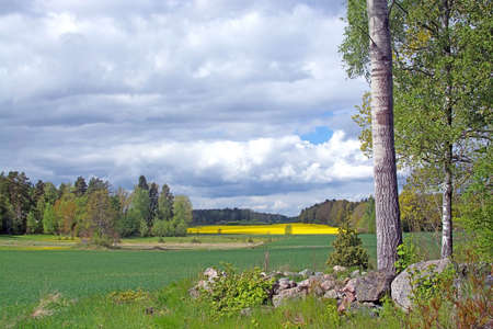 rapaseed: Landscape with yellow rapeseed flowers Brassica napus Sormland Sweden in May. Other names are oilseed rape1 rapa rappi rapaseed Stock Photo
