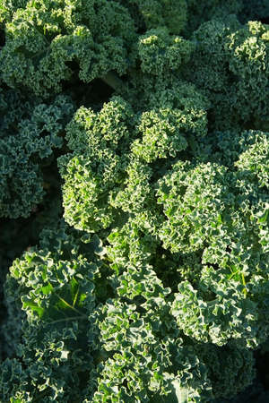consciousness: Green kale background, Brassica oleracea, health consciousness background. Stock Photo