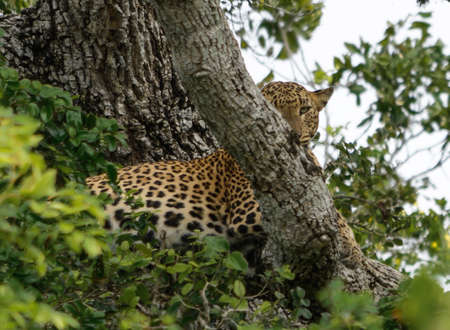 southern sri lanka: Leopard looking up in tree in Yala National Park, Sri Lanka, Southern Province, Asia,