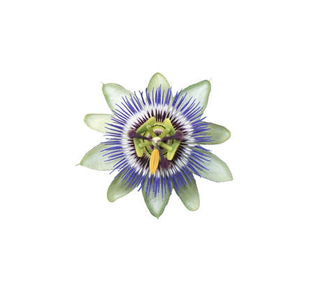 passion flower: Purple and white Passion flower (Passiflora) closeup. Stock Photo