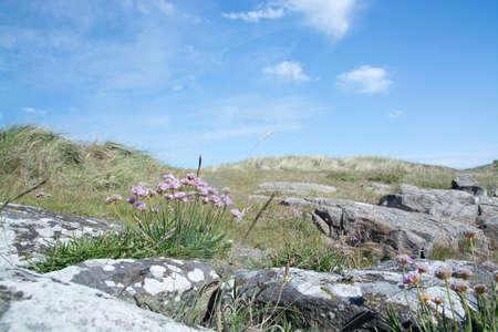 thrift: Seaside heath with pink thrift flowers Armeria maritima in Falkenberg Sweden.