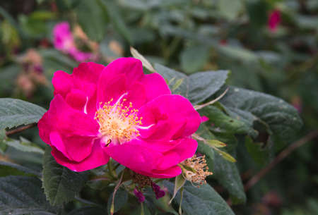 briar bush: Bright magenta pink dog rose flower in nature. Stock Photo