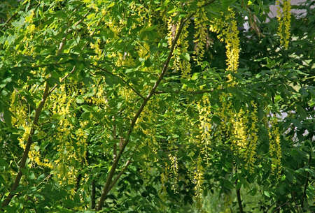 lush foliage: Laburnum yellow flowers on natural tree and lush foliage. Haninge Sweden in June.