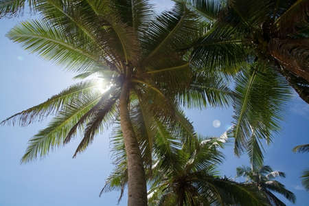 solar flare: Coconut palm trees with fruit and solar flare Southern Province Sri Lanka Asia.