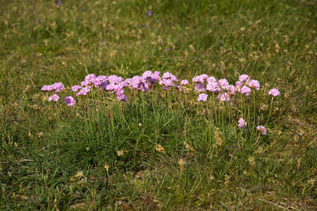 thrift: Pink thrift flowers blossoming on a heath in Halland Sweden. Stock Photo