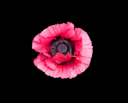 pistils: Pink poppy flower Papaver Orientale with black pistils closeup isolated on black.