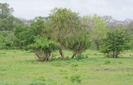 hideout: Tree vegetation in Yala National Park Sri Lanka Asia.