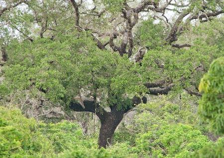 hideout: Leopard hideout in lush green jungle vegetation in Yala National Park Sri Lanka Asia.