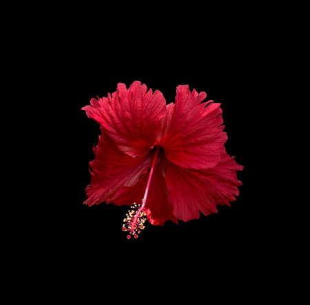 carmine: Carmine fiore di ibisco rosso isolato su sfondo nero.