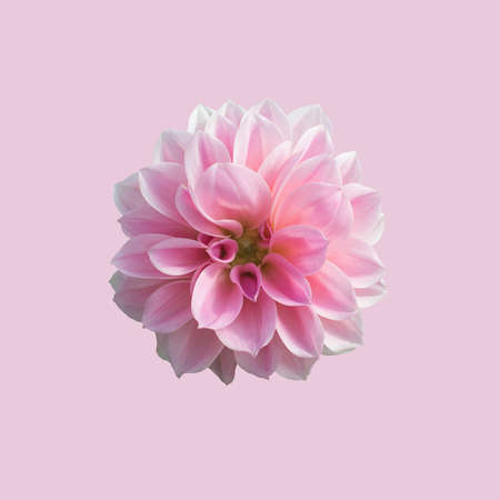 Pretty in pink sweet pink dahlia flower isolated on soft pink pretty in pink sweet pink dahlia flower isolated on soft pink background stock photo mightylinksfo