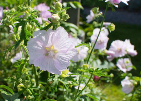 rosemallow: Pink rosemallow flowers blossoming in bright sunshine in Sweden in August. Stock Photo