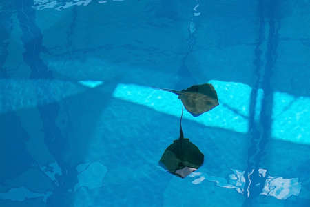 stingrays: Two stingrays swimming in blue pool in Mallorca, Balearic islands, Spain in July.