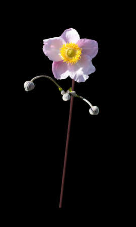 rosemallow: Pink rose mallow flower and buds in expressive pose isolated on black. Stock Photo