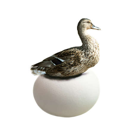 incubation: Duck hatching on very large egg isolated on white. Business concept - stress, startup, incubation period etc.