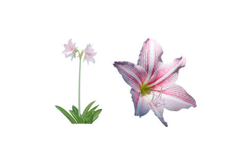 pink stripes: Amaryllis flower and whole plant and closeup white and pink stripes isolated on white.