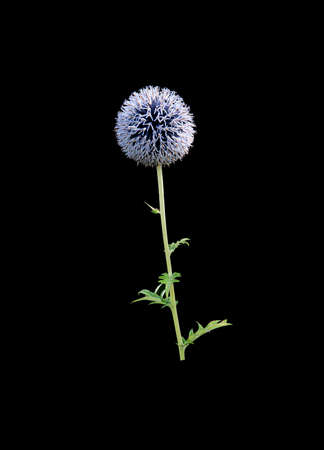 allium flower: Purple allium flower closeup isolated on black