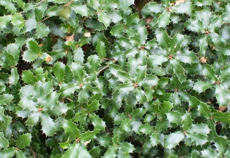 prickly: Kermes oak Quercus coccifera prickly green leaves Stock Photo