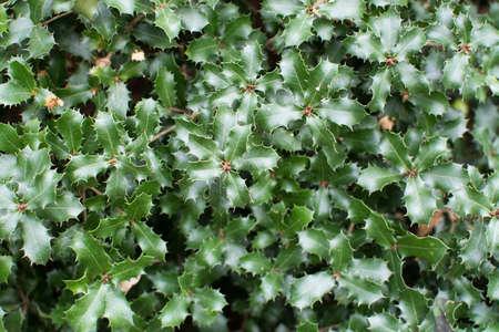 quercus: Kermes oak Quercus coccifera prickly green leaves Stock Photo
