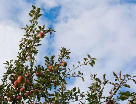 arbol de manzanas: Manzano de cerca en las frutas rojas maduras, contra el cielo parcialmente nublado en Estocolmo en octubre. Foto de archivo
