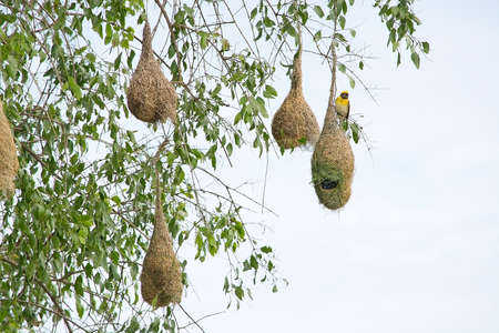 weaver bird nest: Weaver bird nest hanging from a tree near Indian Ocean in Yala national Park, Sri Lanka in December. Stock Photo