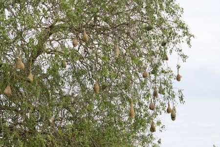weaver bird: Weaver bird nest hanging from a tree near Indian Ocean in Yala national Park, Sri Lanka in December. Stock Photo