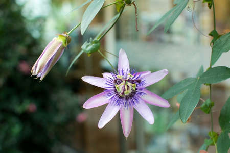 passiflora: Purple Passion flower Passiflora closeup with petals and pistils.