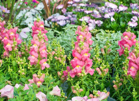snapdragon: Pink and yellow snapdragon flowers, Antirrhinum majus, closeup in May. Stock Photo