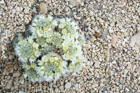 cactus flower: White and yellow cactus flowers closeup with petals and needles on a Cactaceae plant on gravel Stock Photo