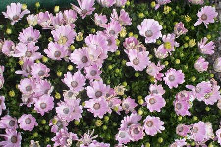 leucanthemum: Pink daisy Leucanthemum vulgare, blossoming in May.