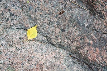 bedrock: Yellow birch leaf on granite bedrock in Varmland, Sweden.