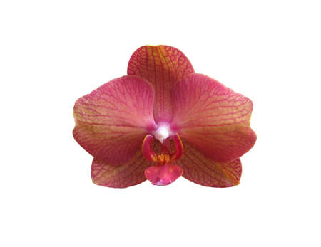 orchideae: Pink orange orchid flower closeup isolated on white. Stock Photo