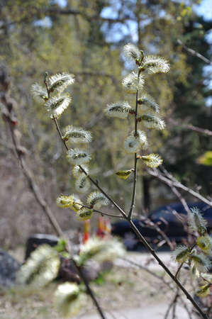 salix: Feathery buds on a willow bush Salix closeup in spring. Stock Photo