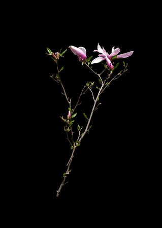 magnolia branch: Magnolia branch with flowers and leaves isolated on black.