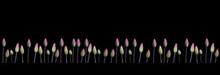 margen: Purple tulips margin. Purple tulips crowding in a row design element isolated on black.