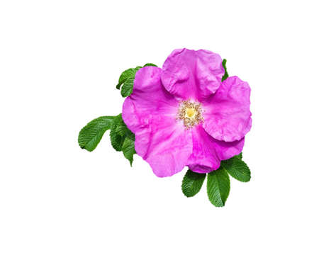 pistils: Pink rock rose closeup with pistils, petals and green leaves isolated on white. Stock Photo