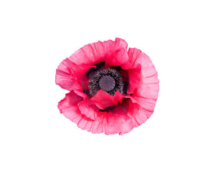 pistils: Pink poppy flower Papaver Orientale with black pistils closeup isolated on white.