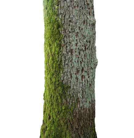 Tree with green moss trunk isolated on white.