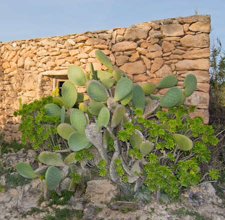 drystone: Drystone house, green cactus and yellow flowers in Ibiza, Balearic islands, Spain