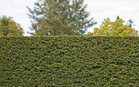 pica: Magpie sits on spruce hedge background Corvus pica Sweden in October. Stock Photo