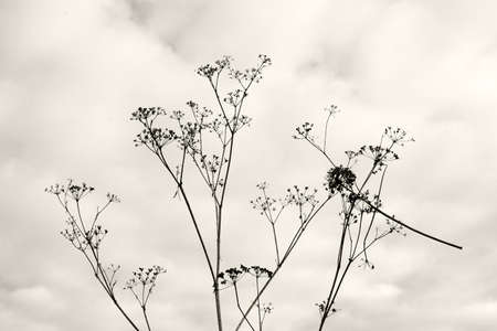 wilted: Dry wilted decorative herb twig, monochrome sepia.