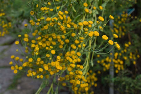 matricaria: Chamomile Matricaria chamomille flowers herbal medicinal plant. Stock Photo